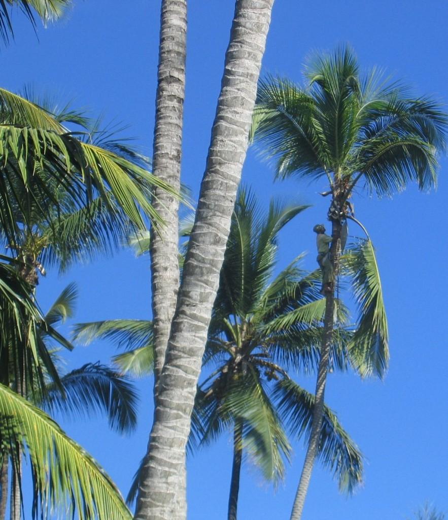 Gärtner auf der Palme