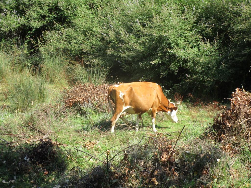 Kuh nahe der Höhle